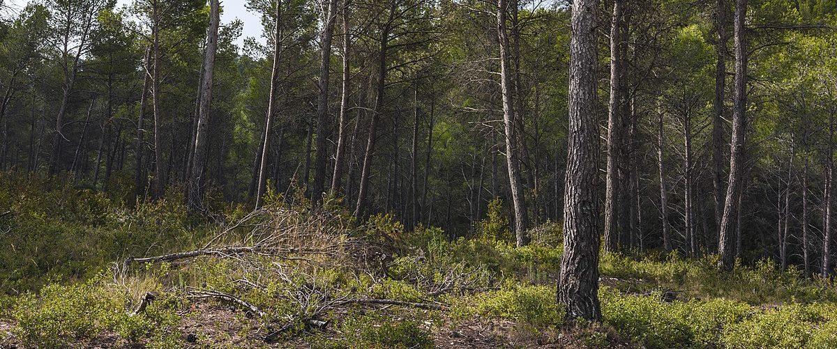 1200px-Pinus_forest,_Saint-Rémy-de-Provence_cf02